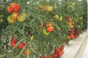 Recuperación del Auténtico Tomate de Muchamiel resistente a virosis. Entrevista a Juan José Ruiz