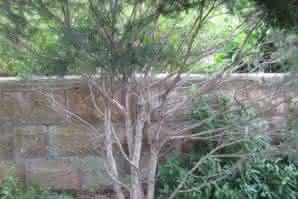 El árbol del té y sus beneficios naturales