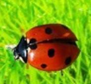Mariquitas e insectos