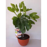 Mini Frutal enano Higuera Ficus Carica